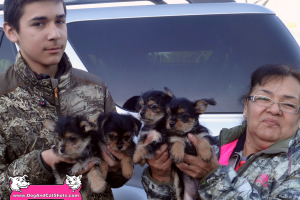 Yorkie-Chihuahua puppies available in Elk Grove!