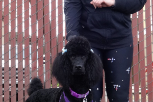 China the Standard Poodle came to our Arden clinic