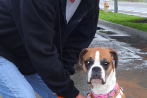 Leilani the Boxer saw us in Woodland