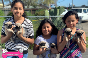 Pug puppies for sale in Atwater