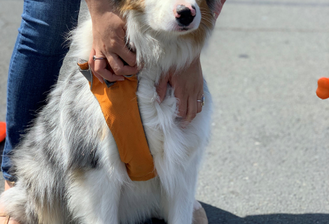 Skyy the Australian Shepherd came to our Fairfield clinic