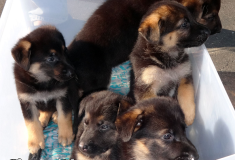 German Shepherd puppies available in South Sacramento!