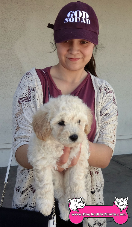 Gracie the Miniature Poodle visited us in Manteca
