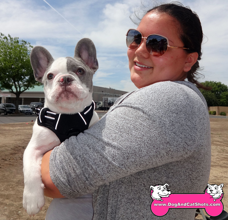 Milo the French Bulldog visited us in Modesto