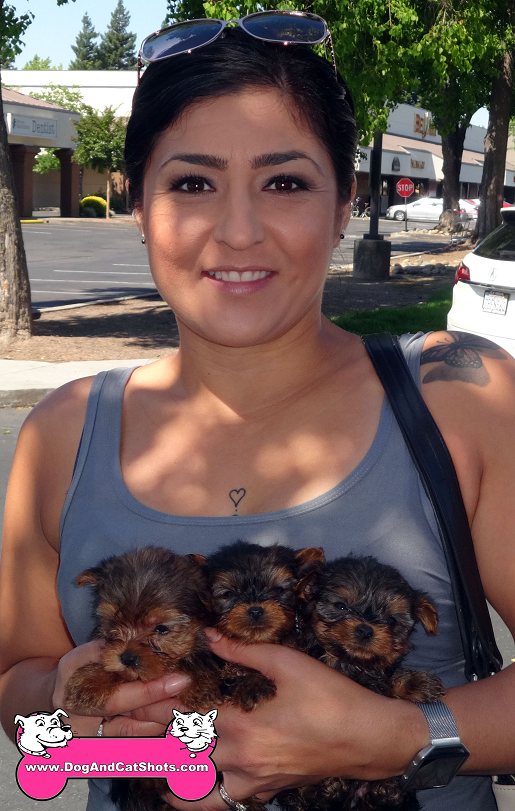 Yorkie puppies available in Natomas!