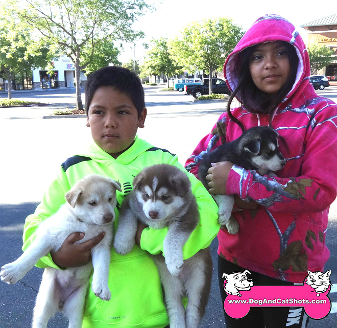 Siberian Husky puppies available in Lodi/Galt area