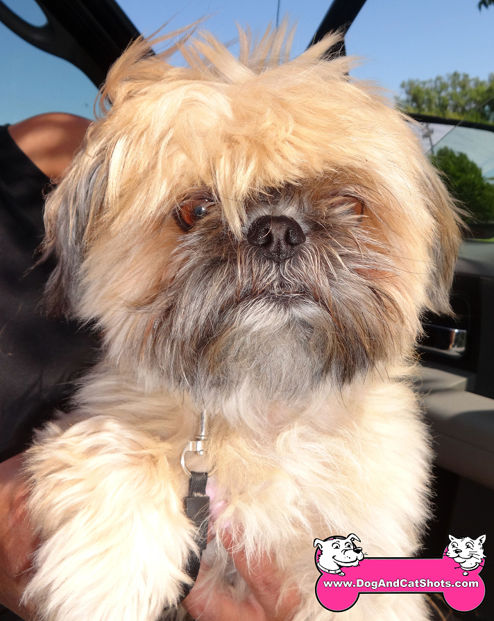 Nico the Shih-Tzu visited us in Tracy
