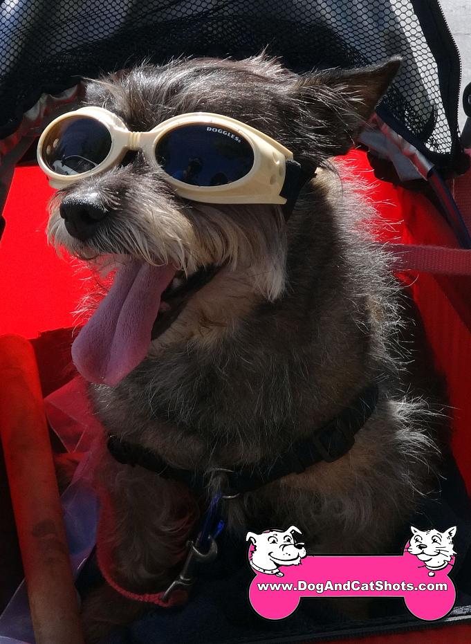 Oscar the Terrier came to our Natomas clinic