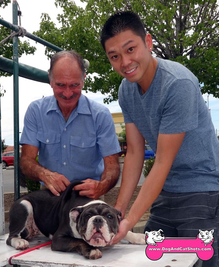 Boyer the Old English Bulldog came to our Rancho Cordova clinic