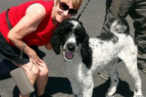 Lovie the Standard Poodle visited us in Citrus Heights