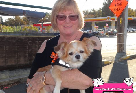 Fae the Pomeranian Chihuahua Mix. AKA: the Pomchi.