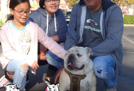 An English Bulldog at our West Sacramento Clinic.