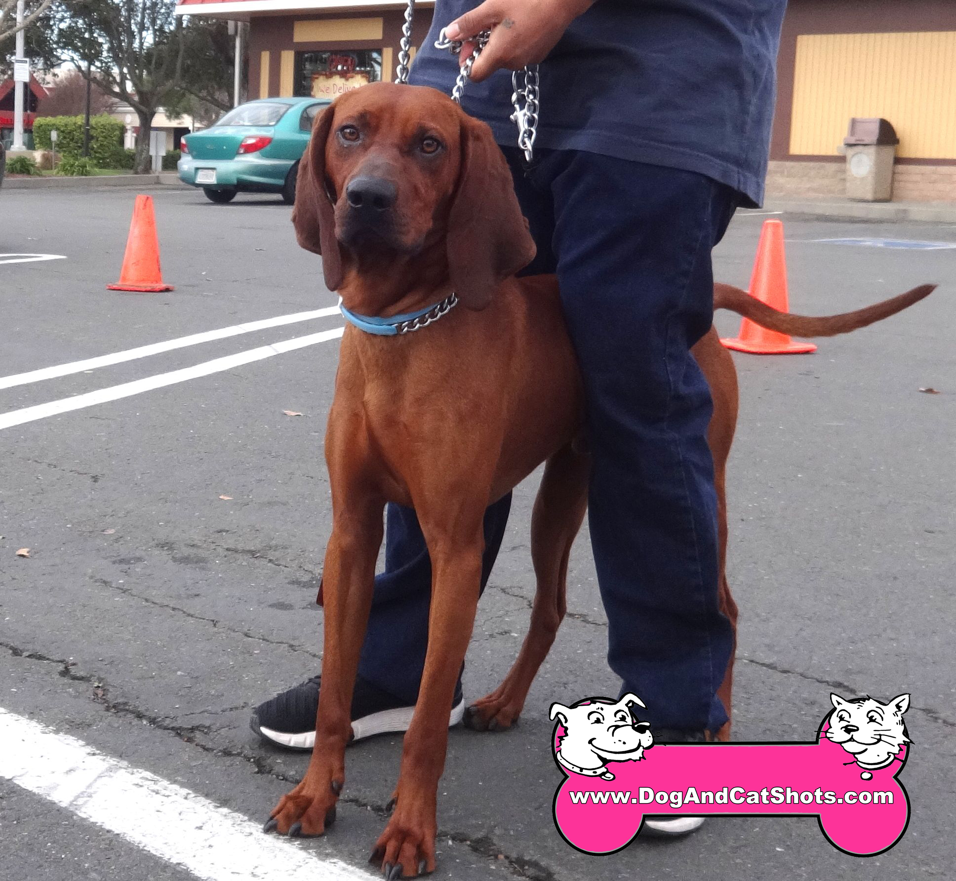 Meet this Redbone Coonhound.