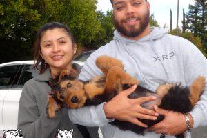 Kafi the Airdale Terrier