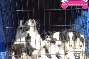 Border Collie Pups who need a home.