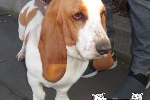 Read about the Basset Hound, a Visitor at one of our Clinics.