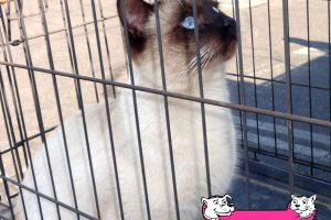 Garfield, the Siamese Cat that came into our Turlock Clinic.