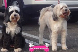 Siah and Quincy the Tibetan Terriers