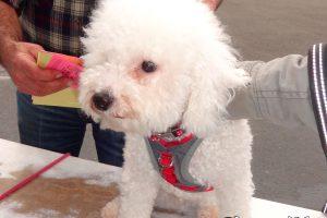 At our Fairfield Clinic, meet Puff, a Bichon Frise.