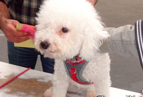 At our Fairfield Clinic, meet Puff, a Bichon Frise.