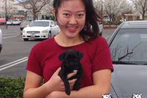Luna, a Young Pug who visited our Galt Clinic.