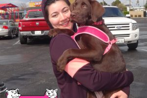 Shelby the Chocolate Lab Pup that came into our Manteca Clinic