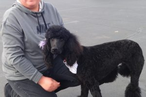 Curly the Standard Poodle