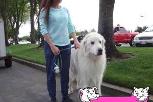 Prince Azrail the Great Pyrenees