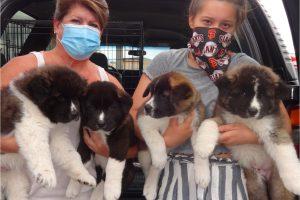 Akita Puppies Aplenty