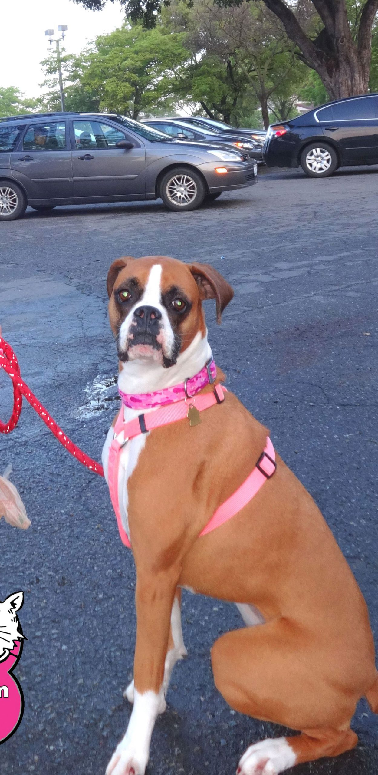 Leilani the Boxer at our Woodland Clinic