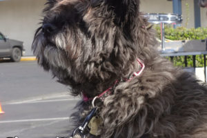 Lucy the Norwich Terrier at our Manteca Clinic