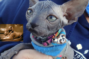 Willow the Sphynx